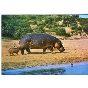 CARTE POSTALE HIPPOPOTAME ET SON PETIT