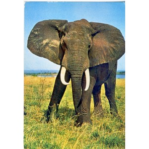 CARTE POSTALE FAUNE  AFRICAINE - ELEPHANT