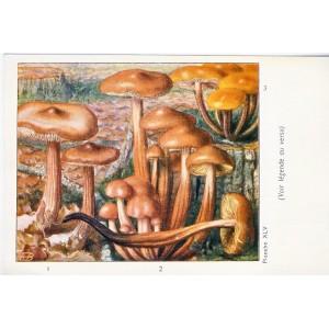 CARTE CHROMO PUBLICITAIRE CHAMPIGNONS - PLANCHE XLV