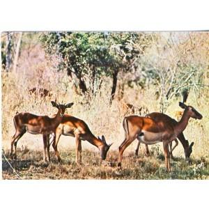 CARTE POSTALE IMPALAS - ANIMAUX D'AFRIQUE EN LIBERTE