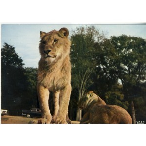 CARTE POSTALE LIONS - RESERVE AFRICAINE DE THOIRY